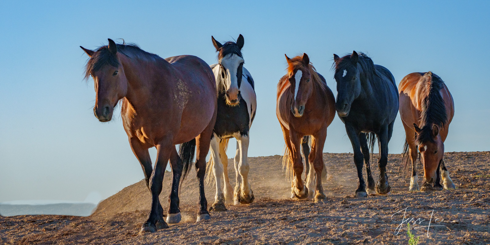 Fine Art Limited Edition Photography of Wild Herds Mustangs . Wild Horses or Mustang herd. This is part of the luxurious collection...