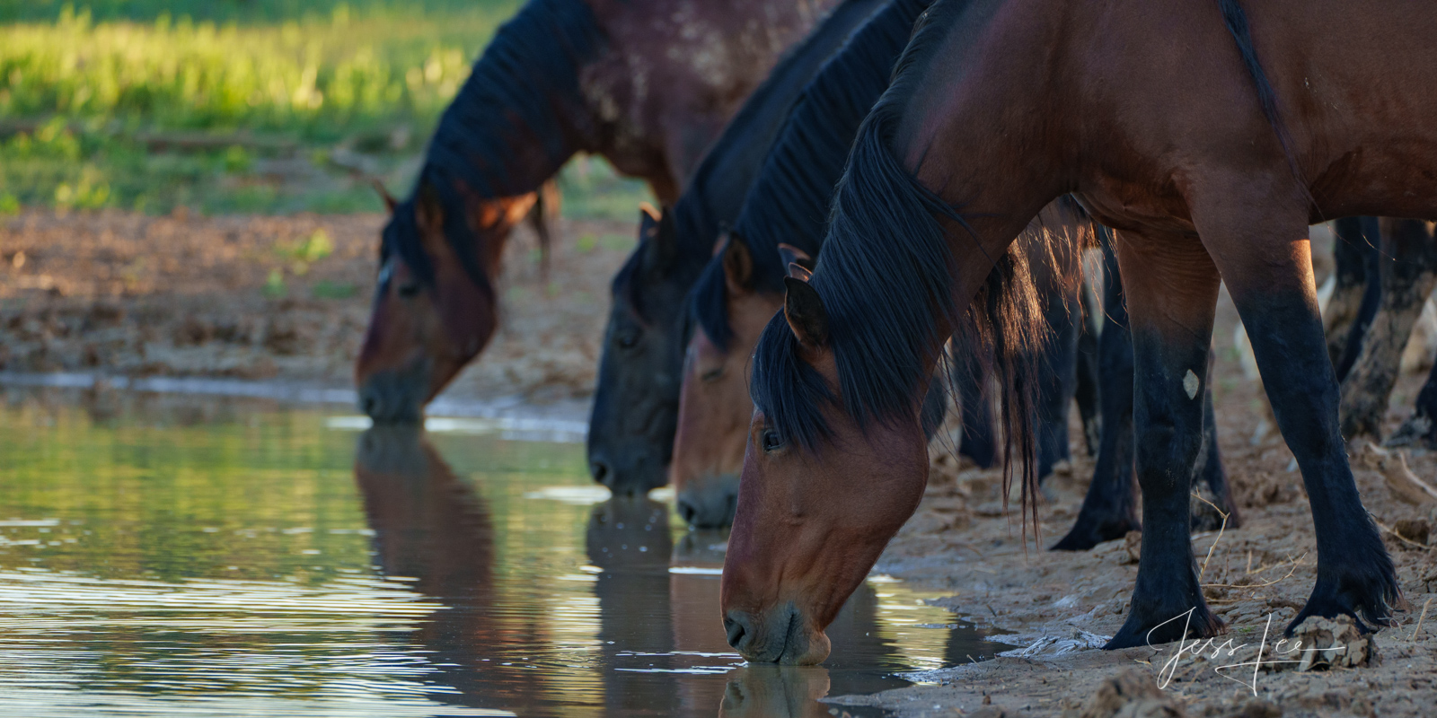 Fine Art Limited Edition Photography of Wild Herd of Mustang Horses. Wild Horses or Mustang herd lining up to drink. This is...