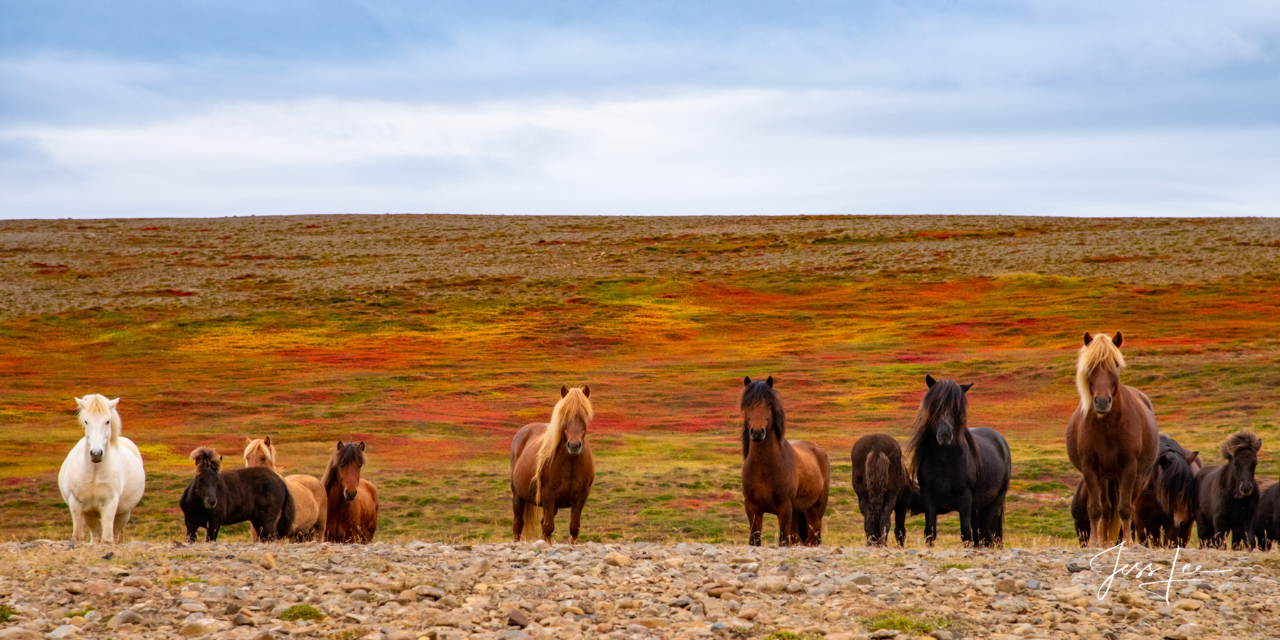 Limited Edition of 50 Exclusive high-resolution Museum Quality Fine Art Prints of Icelandic horses in this Panorama Photo. Photos...
