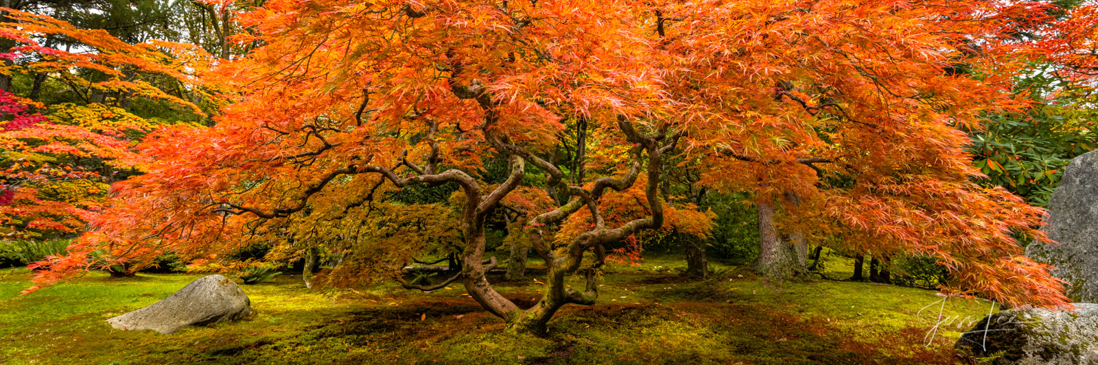 A limited edition fine art photographic print of 50 archival Museum Quality artworks of this beautiful Japanese Maple Tree in...