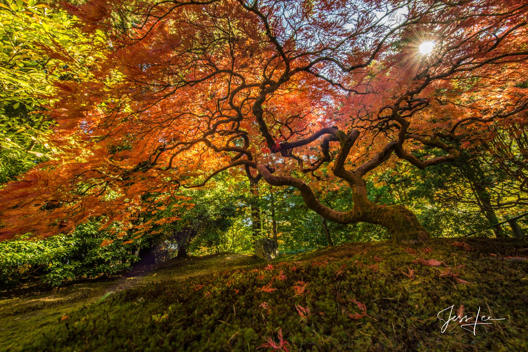 Red Maple tree with autumn color, photo