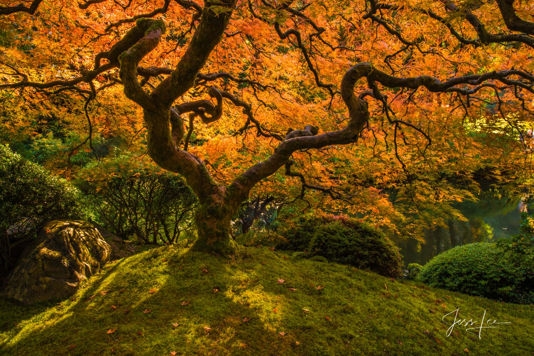 Limited Edition of 50 Exclusive high-resolution Museum Quality Fine Art Prints of this awesome Japanese Maple tree photographed...