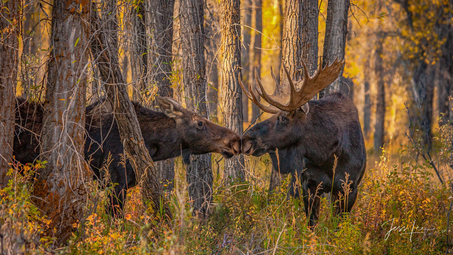 Photo print of moose kissing, Wyoming, National Parks, Grand Tetons, wilderness, autumn colors, fall, animals, wildlife photography, Large format, quality, museum, fine art, print, jess lee, artist ph, photo