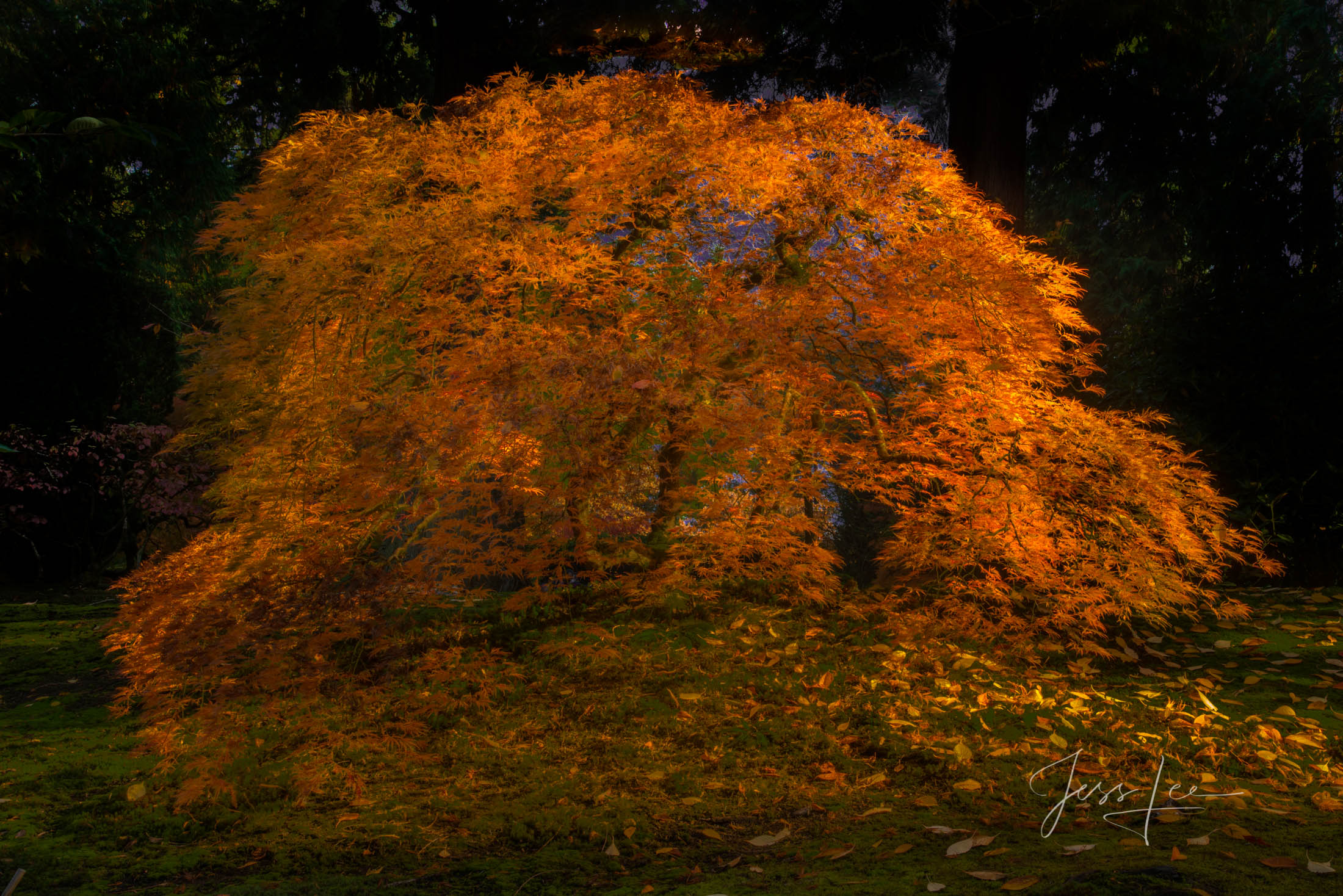 Autumns golden Tree bow photograph., Autumn, Color, road, country road, trees, Portland , photo