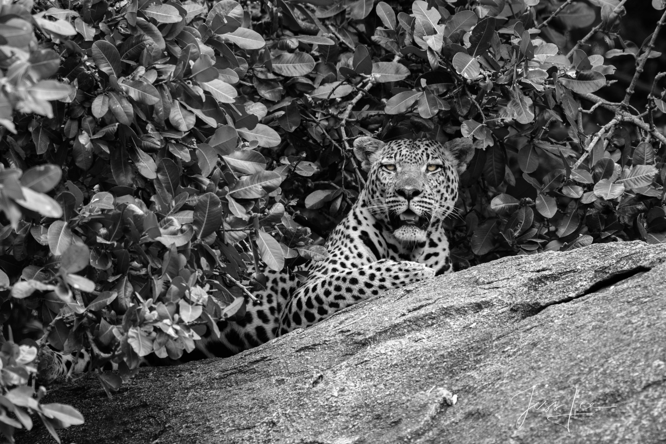 Black and White photo of African Leopard on warm rock as nigh falls.