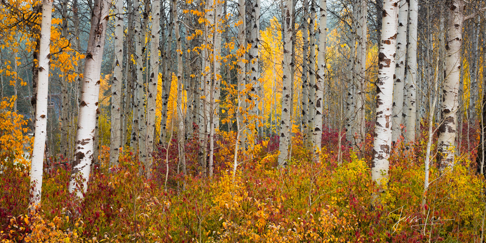 A limited edition fine art photographic print of 50 archival Museum Quality artworks of this beautiful autumn Birch Forest....