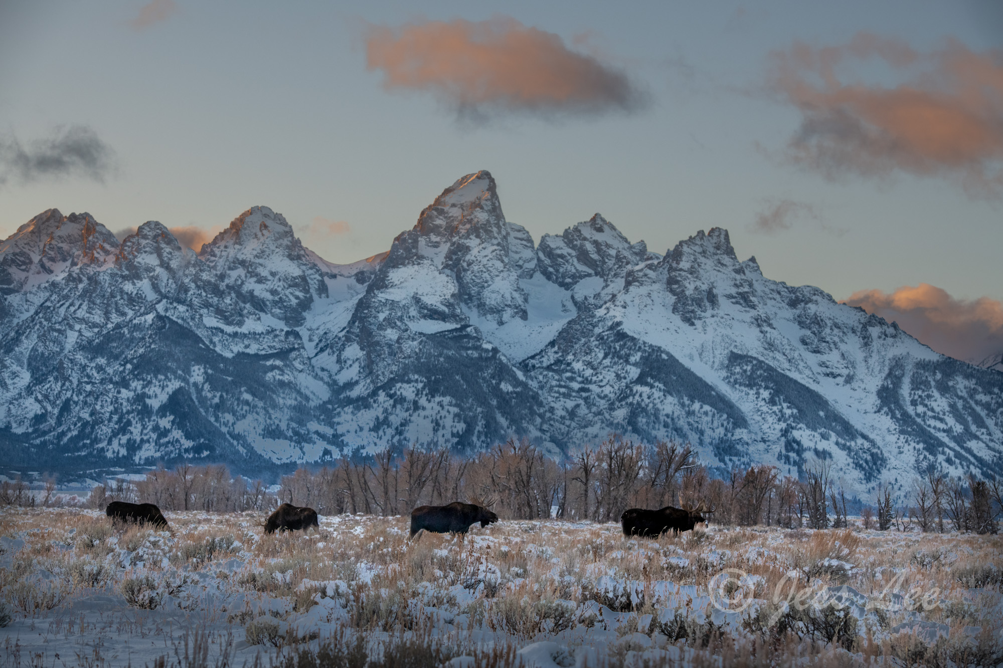 Grand Teton Moose on the Winter Range. These Moose fine art wildlife in landscape photographs are offered as high quality prints...