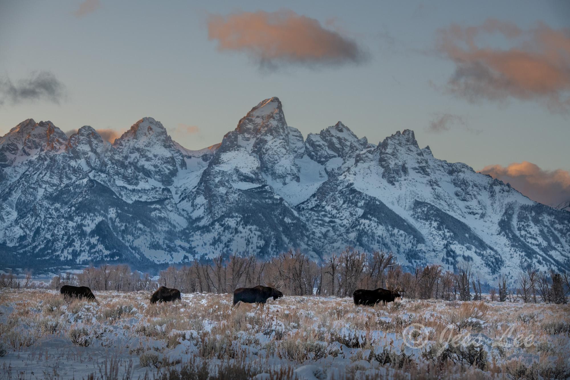 Moose Row, Grand Teton Wintering Moose