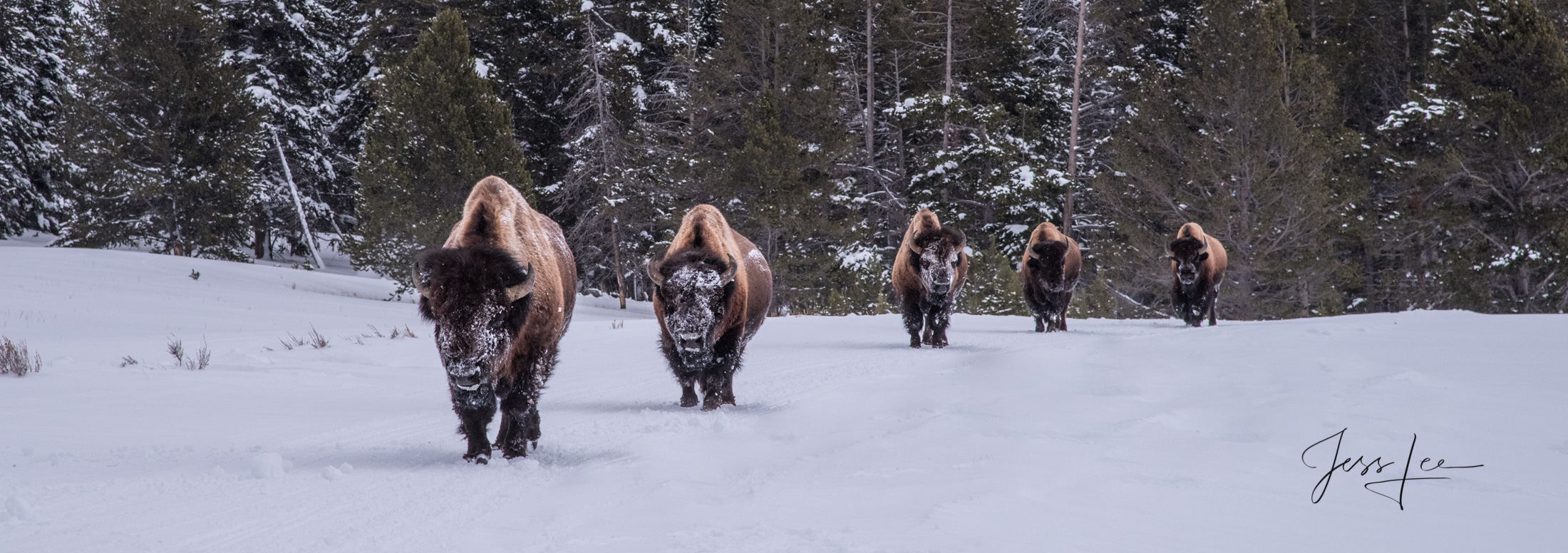 Yellowstone Bull Bison lined up walking in winter snow with snow on there face.