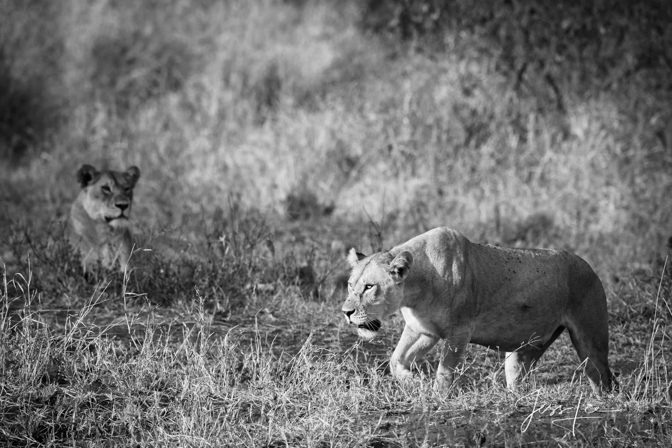 Black and White photo of African Lion Hunting