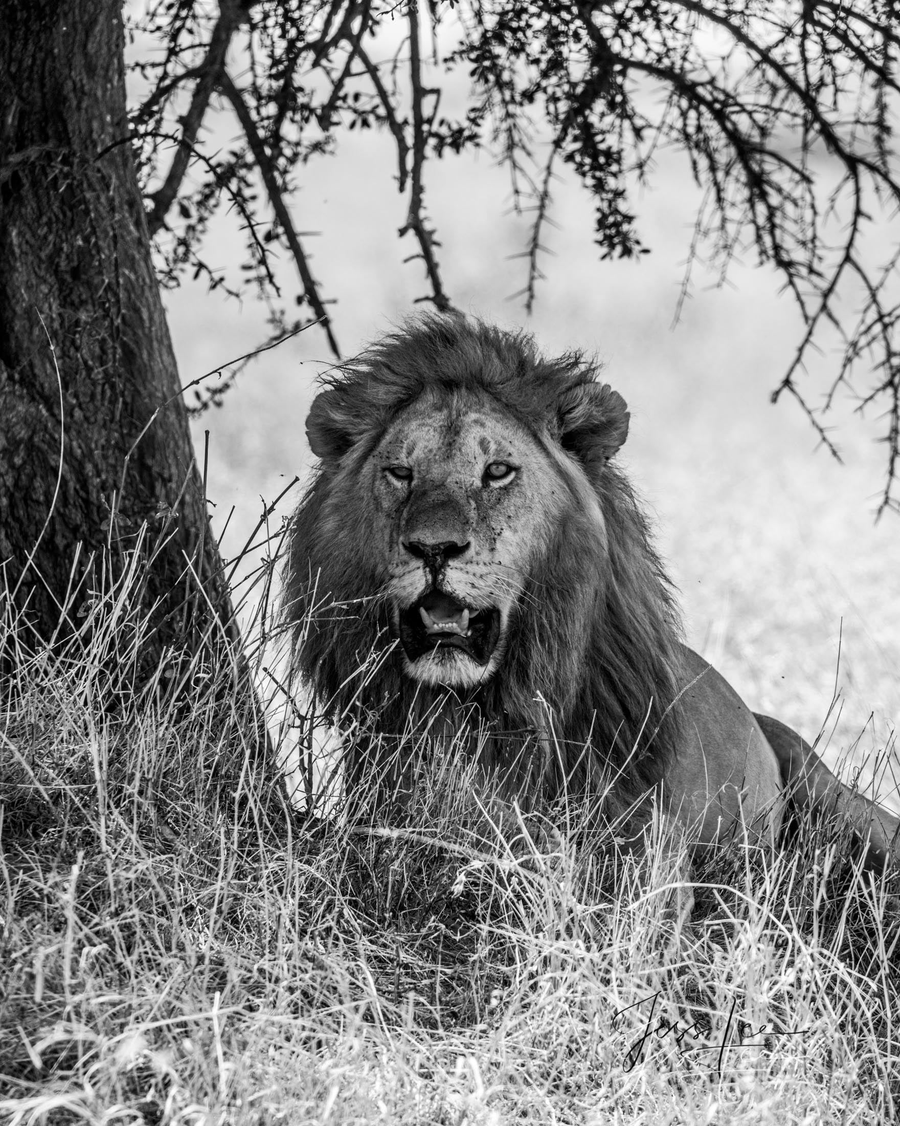 Black and White photo of Male African Lion in the shade.
