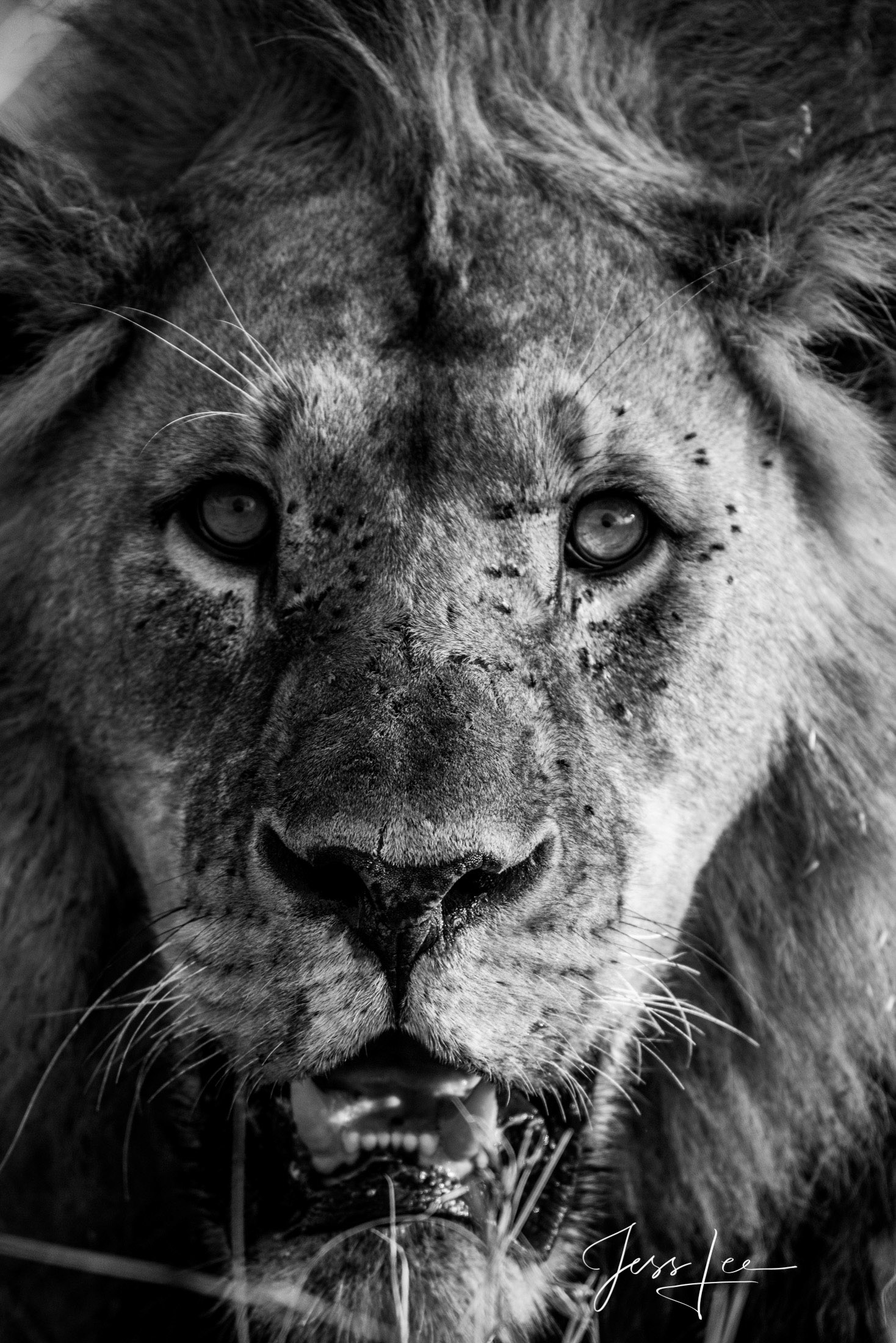 Black and White photo of Wild Male African Lion close-up and personal.