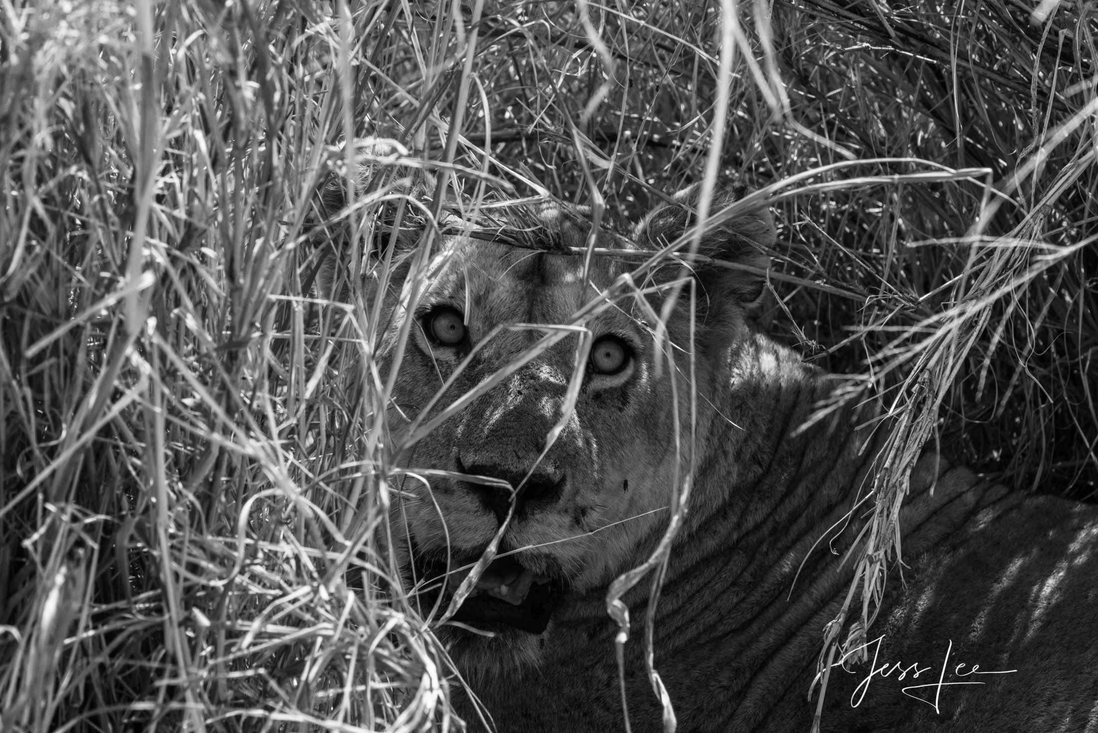 Black and White photo of African Lioness in the bush. Surprise!