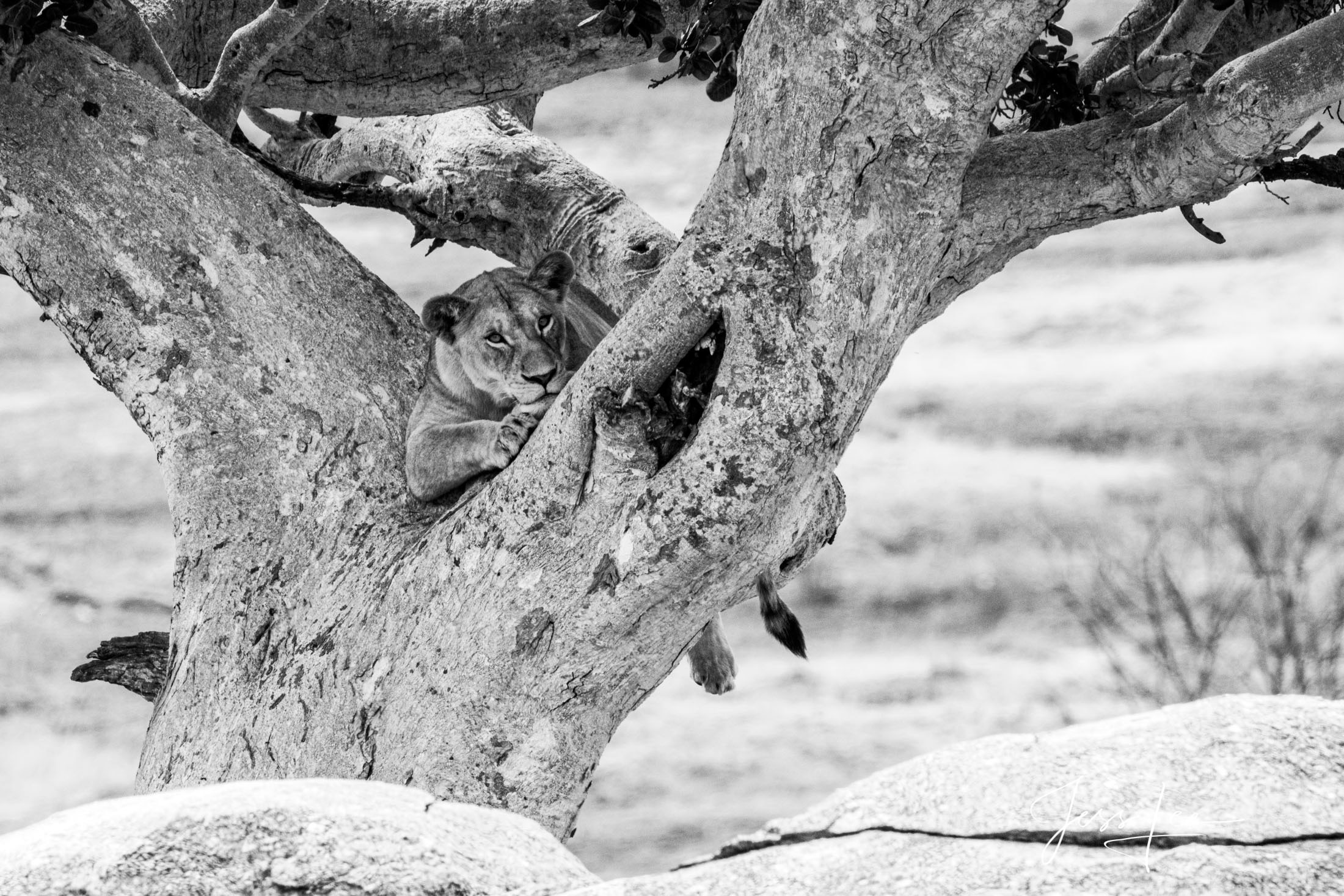 Black and White photo of African Lion resting in a tree