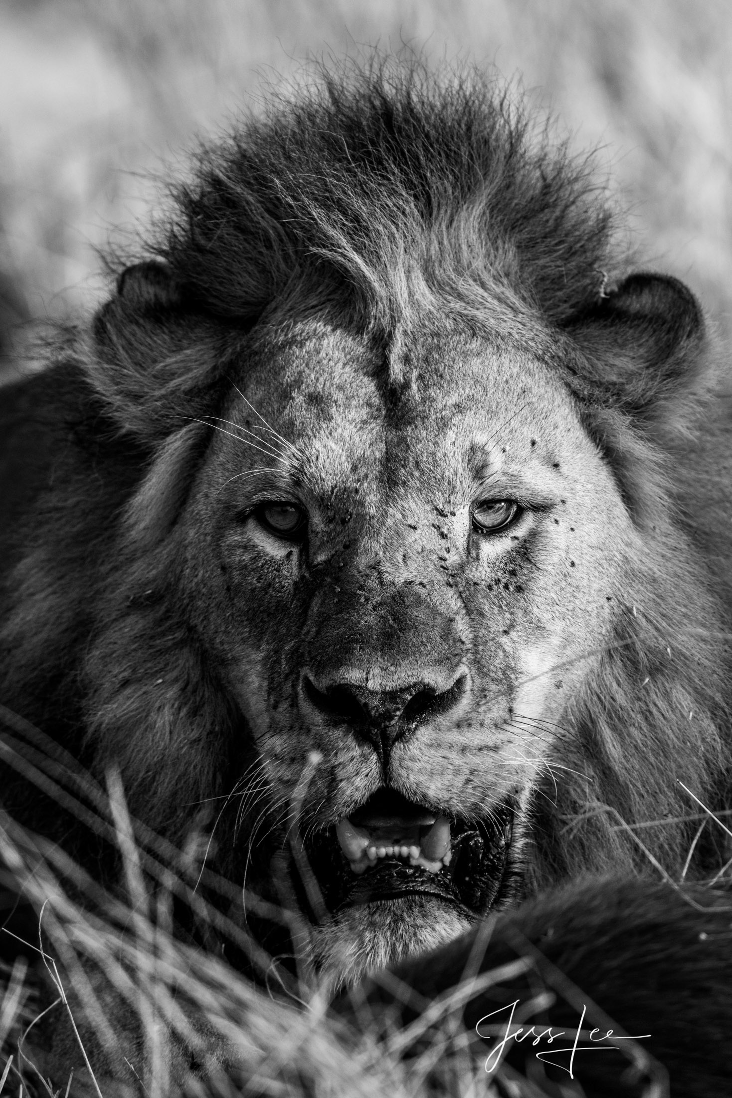 Black and White photo of African Lion,
