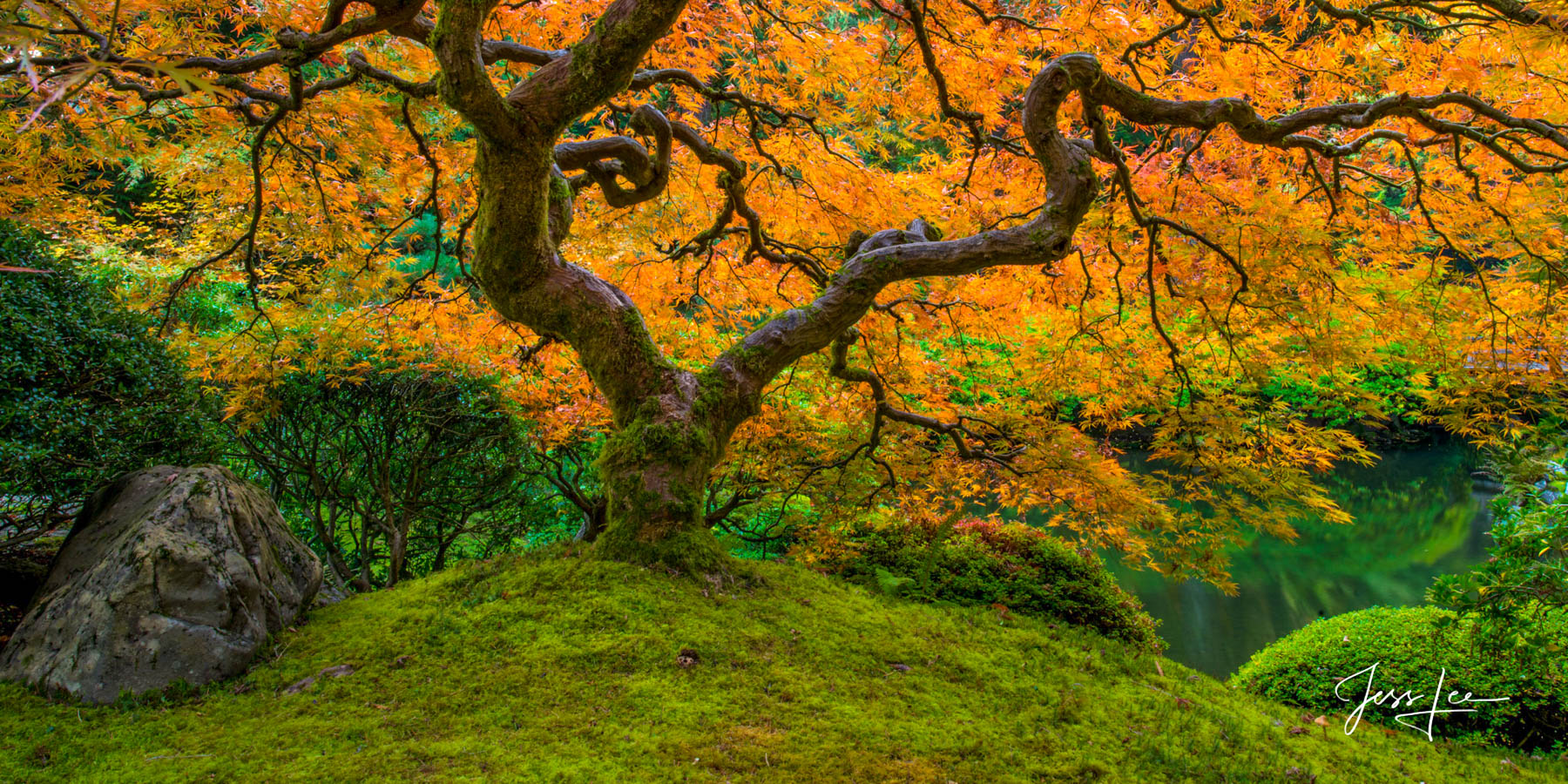 Limited Edition of 50 Exclusive high-resolution Museum Quality Fine Art Prints of Japanese Maple with brilliant autumn orange...