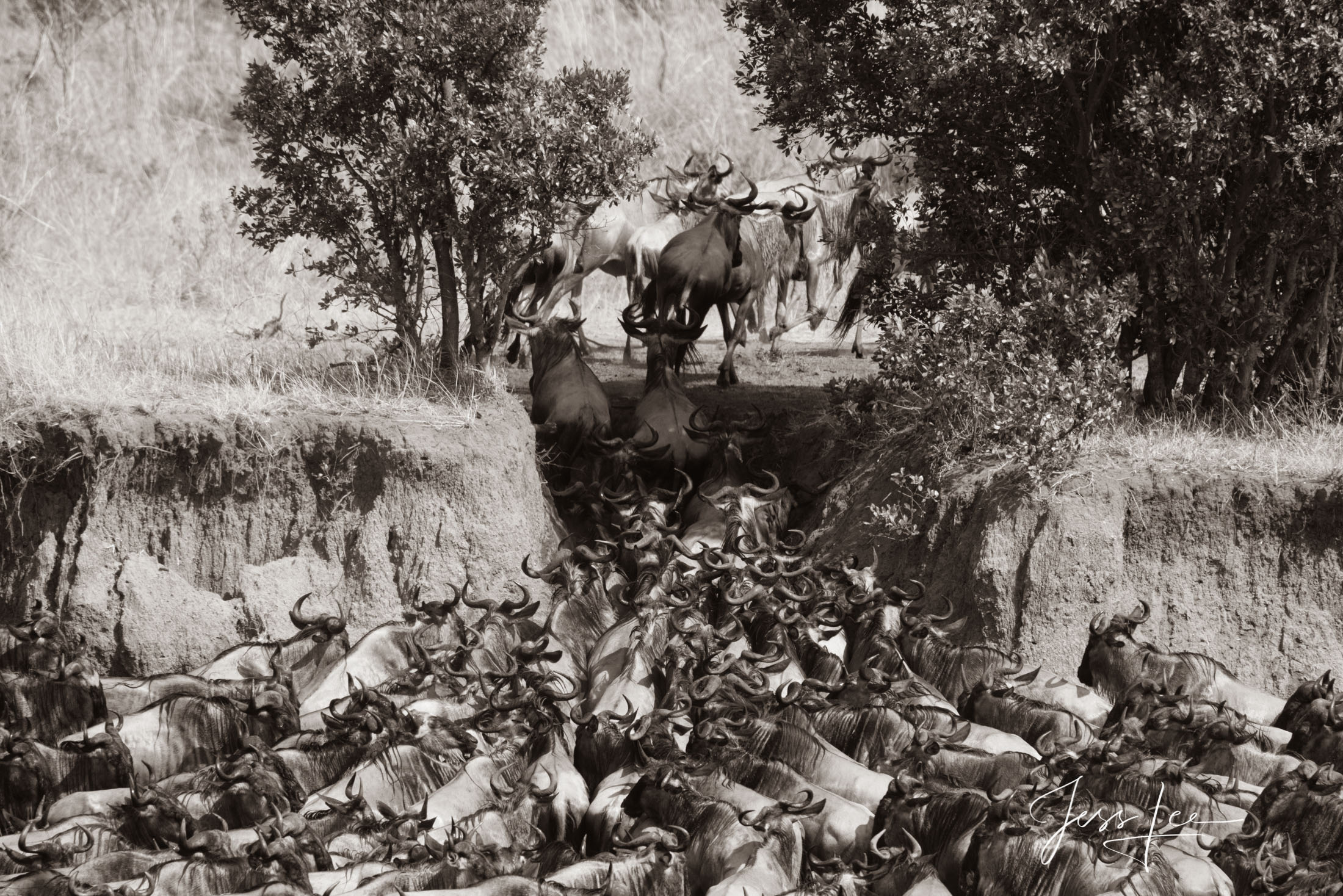 Black and White photo of African Wildebeest Migrating across the Mara River.