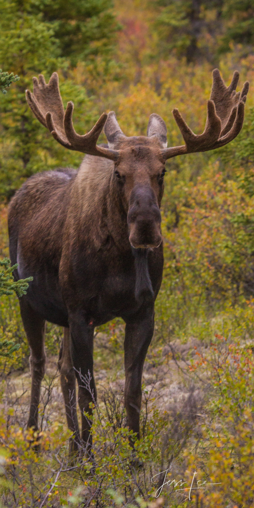 Denali Alaska, Bull Moose looking very unhappy. A limited edition of 800 prints. These Moose fine art wildlife photographs are...