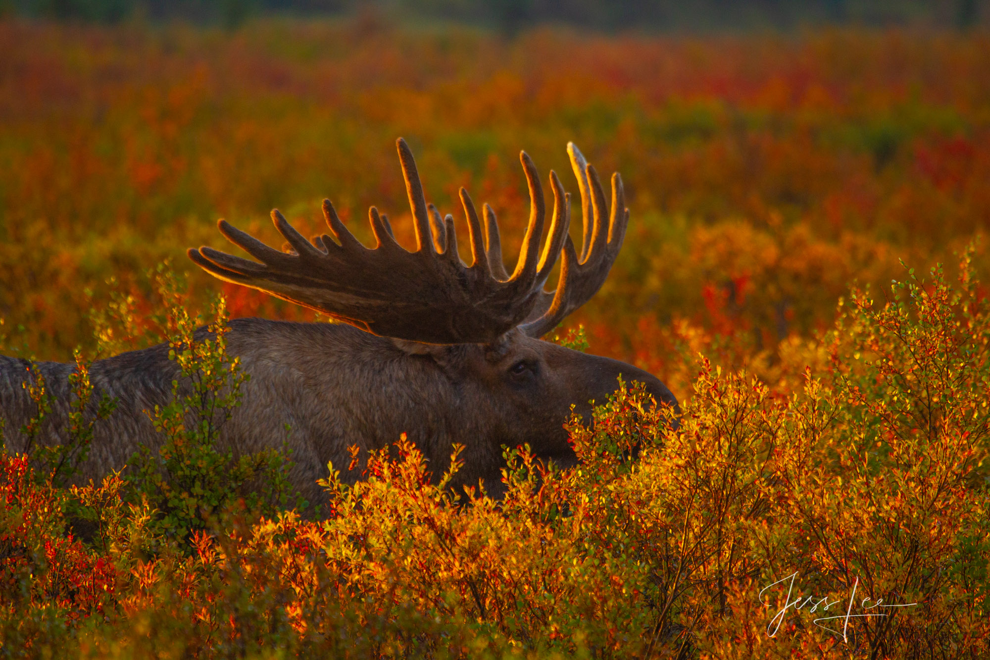 Denali Alaska, bull Moose feeding in the tundra at sunrise. A limited edition of 800 prints. These Moose fine art Wildlife photographs...