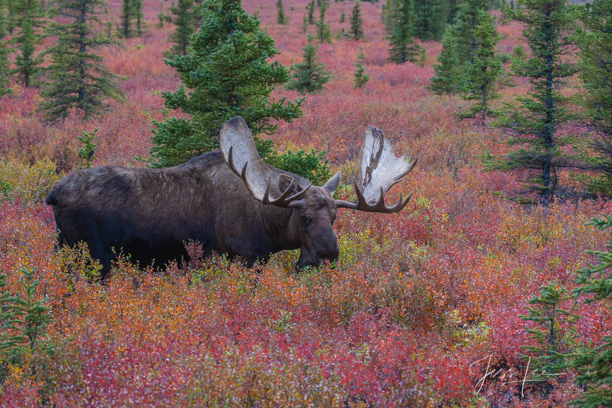 Denali Alaska, bull Moose feeding in the tundra. A limited edition of 800 prints. These Moose fine art Wildlife photographs are...