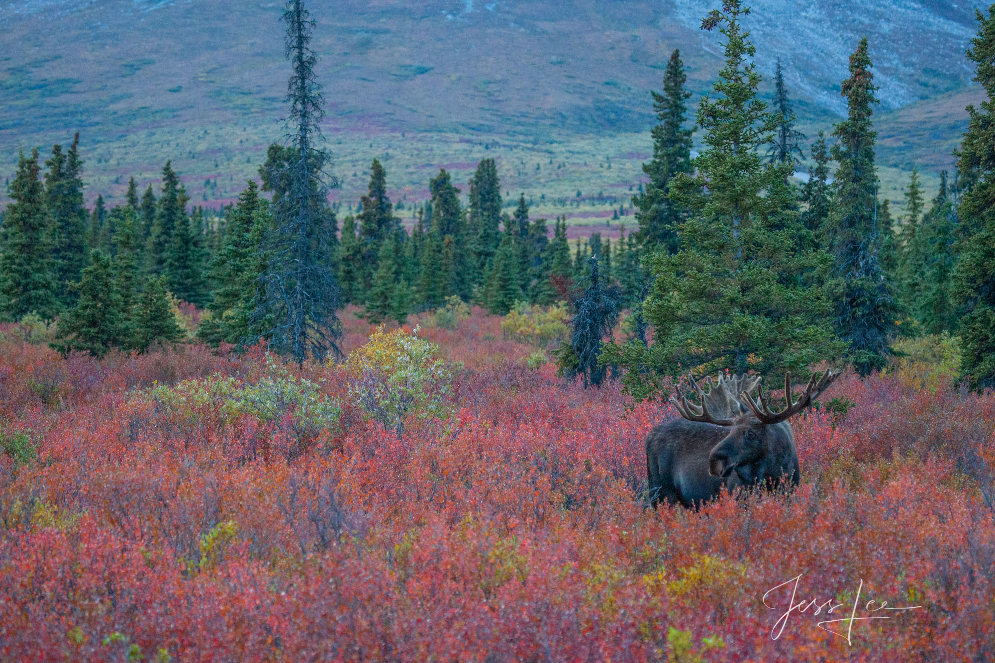 Denali Moose, a limited edition of 800 prints. These Moose fine art Wildlife photographs are offered as high quality prints for...