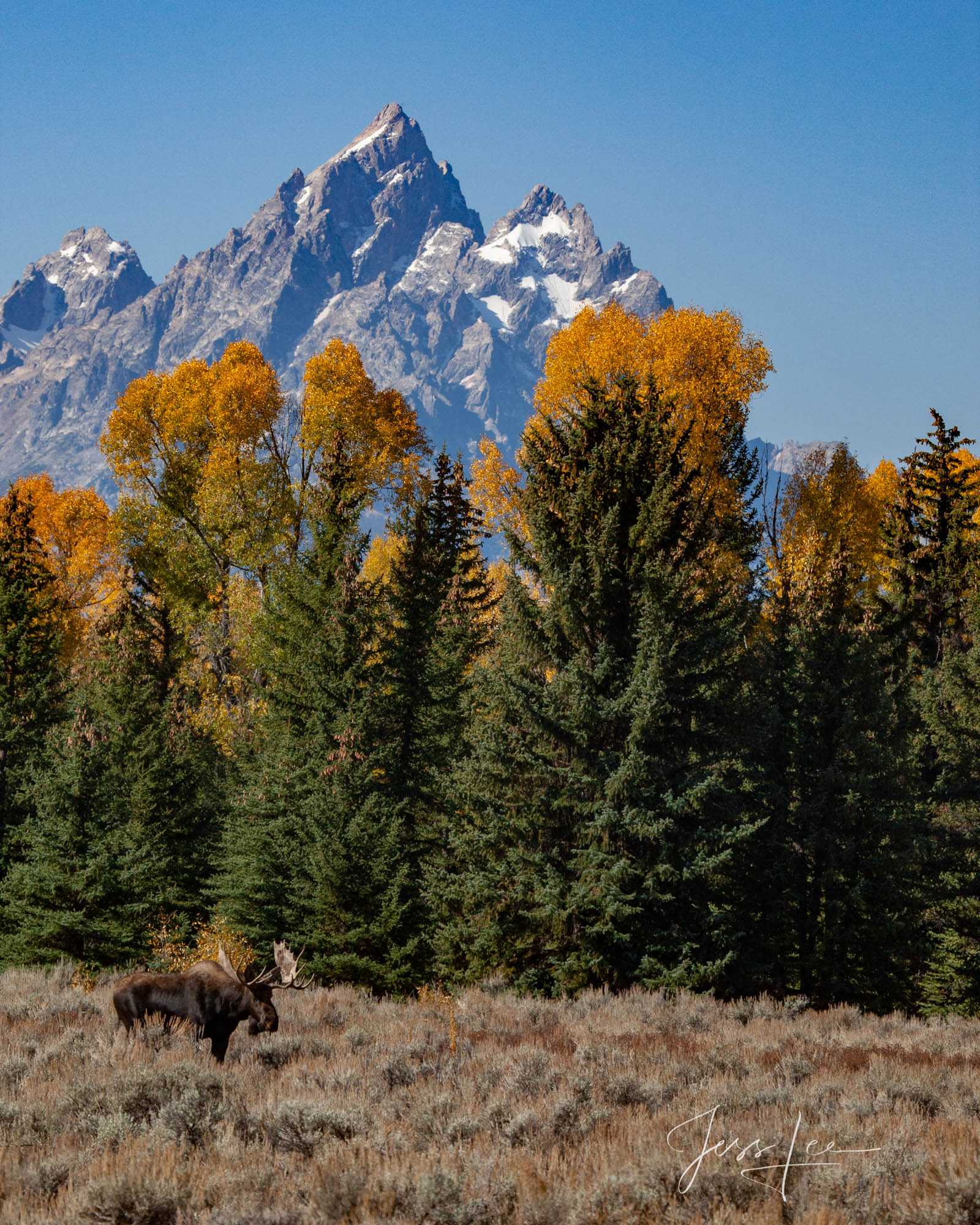 Teton Bull Moose at the foot of the Tetons. A limited edition of 800 prints. These Moose fine art wildlife photographs are offered...