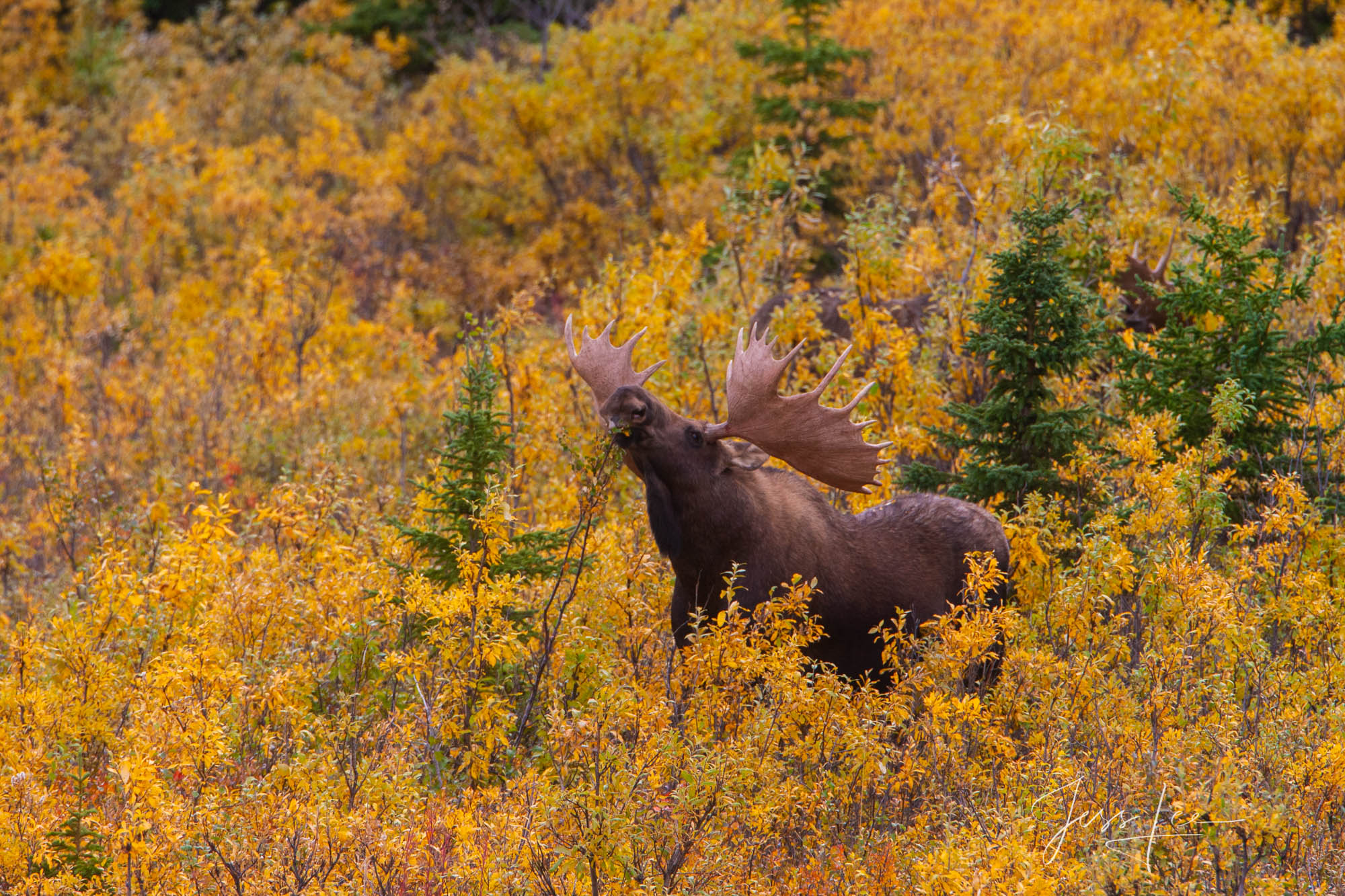 Denali Alaska, bull Moose feeding in the willows. A limited edition of 800 prints. These Moose fine art wildlife photographs...
