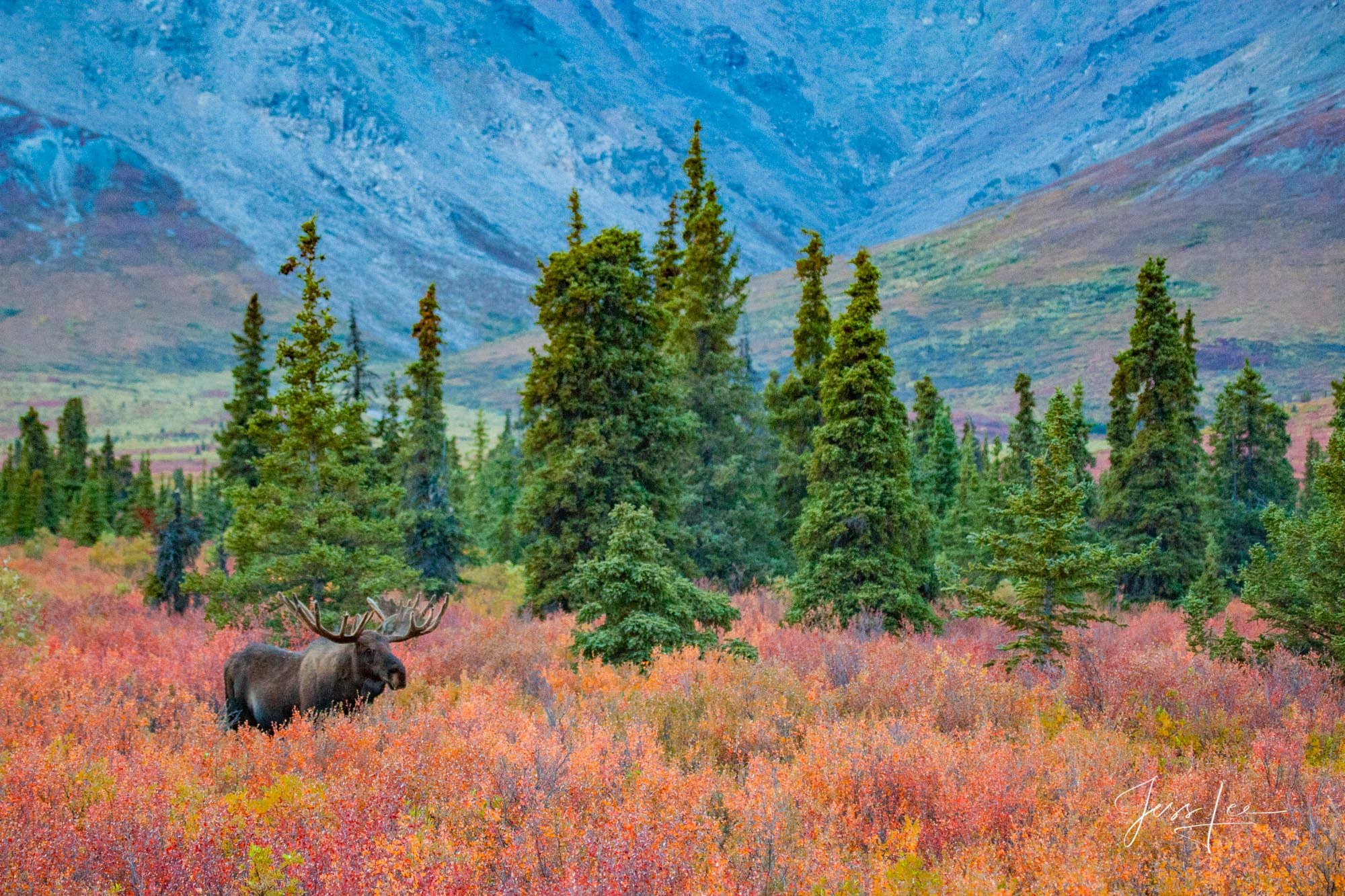 A lone moose exploring in the Alaskan tundra during autumn.