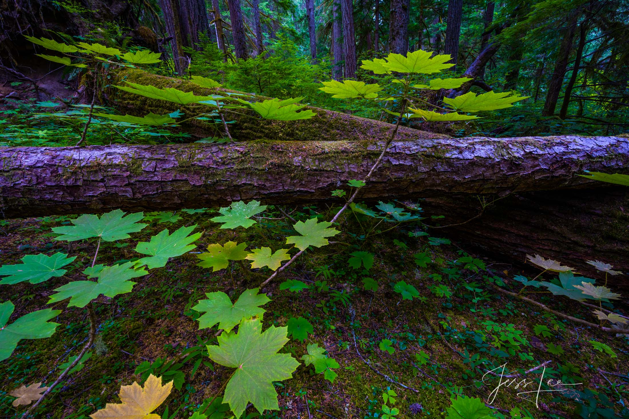 Fallen Silence A limited edition Fine Art Photographic Print of the forest on the slopes of Mt Rainer National Park.
