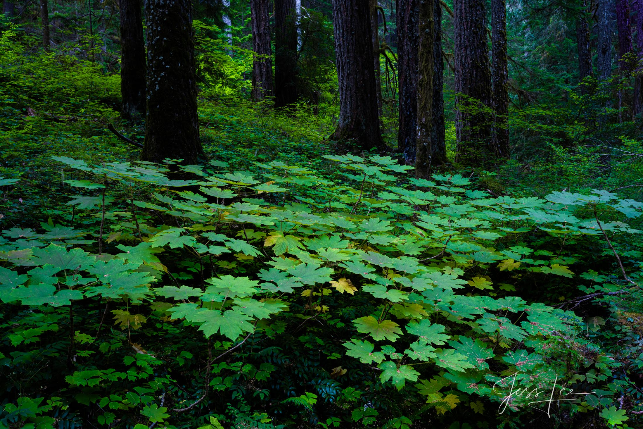 The Green Way,  A limited edition Fine Art Photographic Print of the forest on the slopes of Mt Rainer National Park.