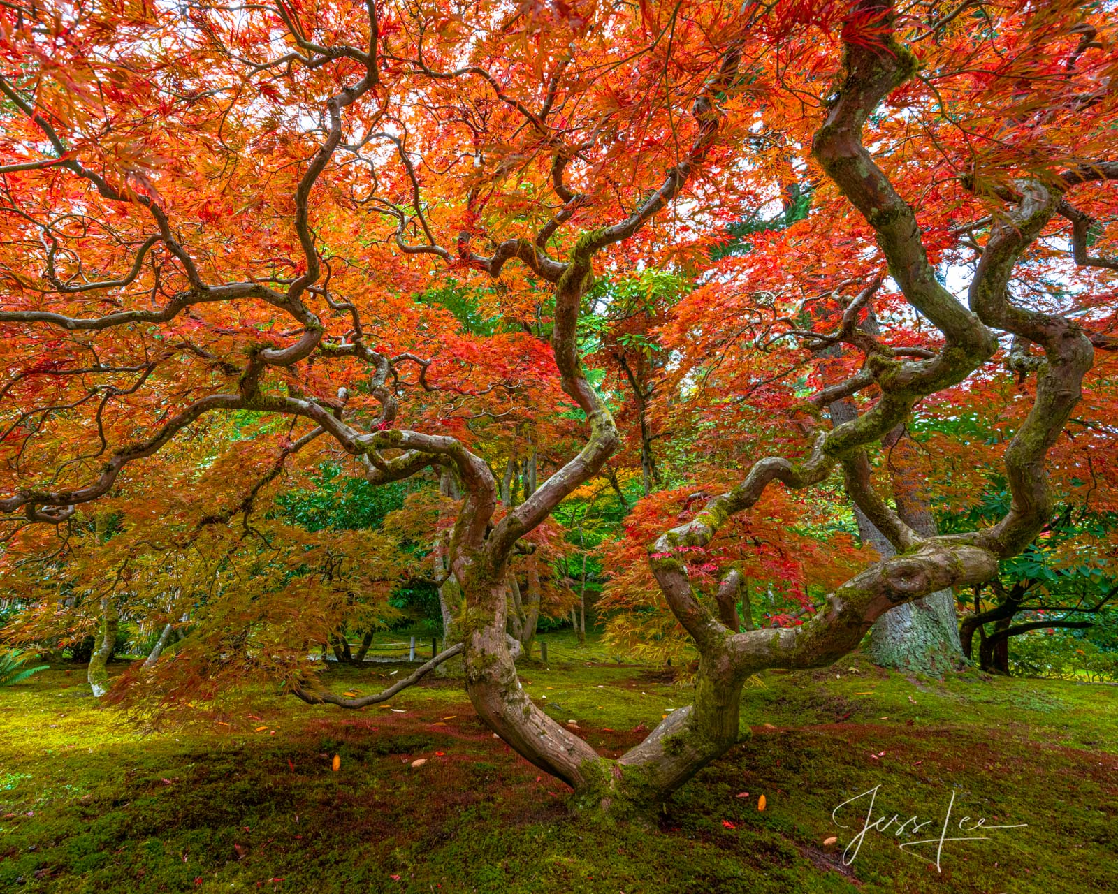 A limited edition fine art photographic print of 50 archival Museum Quality artworks of this beautiful autumn flaming Maple Tree...