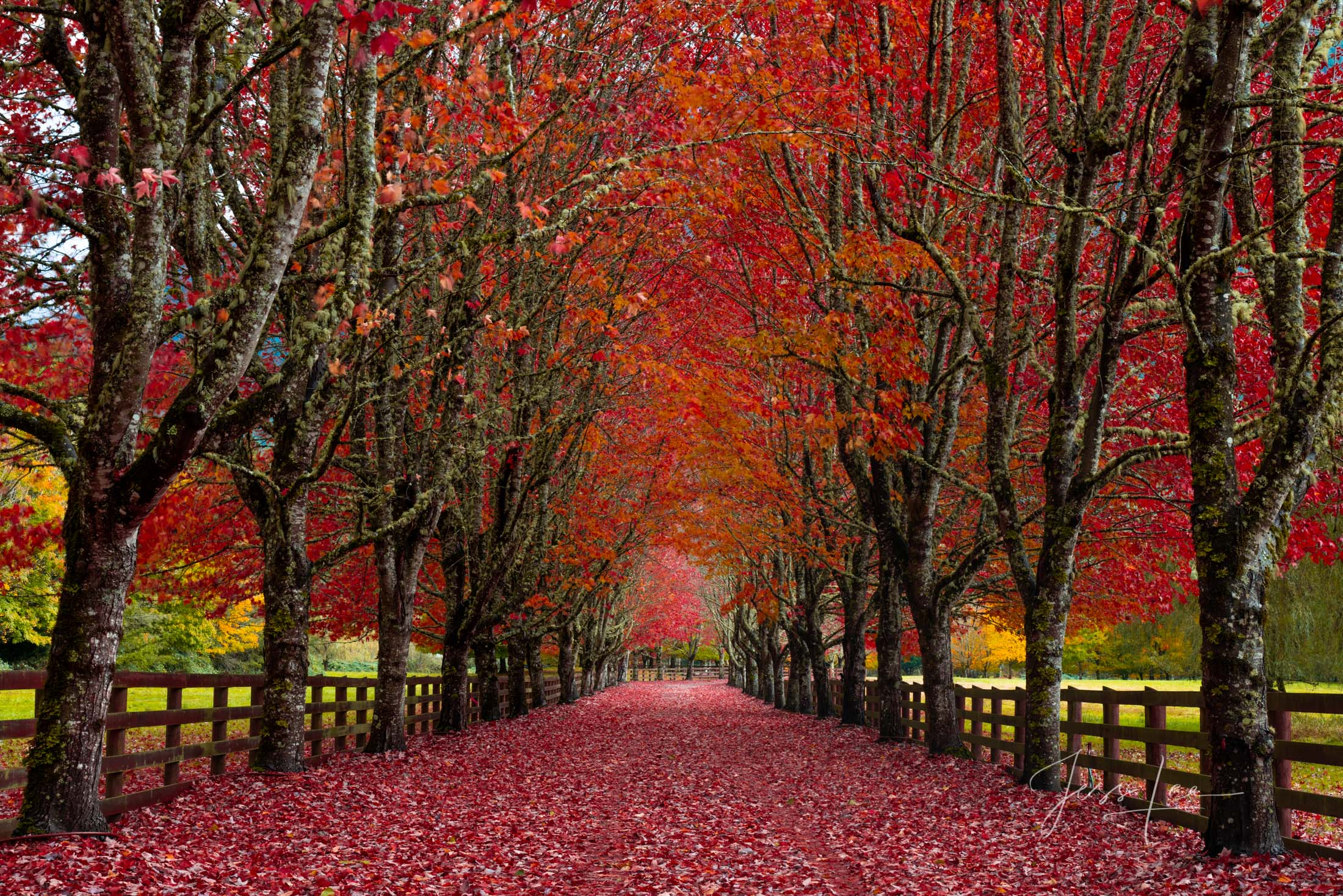 photo of autumn driveway in Washington, autumn leaves photography, fall in Washington state, autumn landscape photography, autumn, fall, red, orange colors, driveway, Pacific Northwest, PNW, Washingto, photo