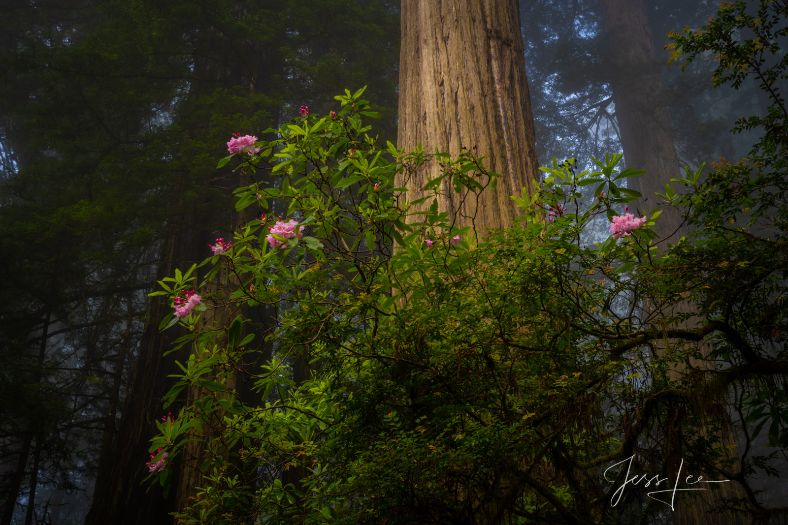 Beautiful Rhododendrons and redwoods in the Redwood Forest.