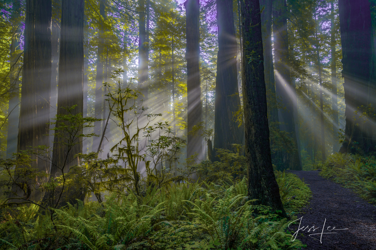 Light beams Rhododendrons and redwoods in the Redwood Forest.