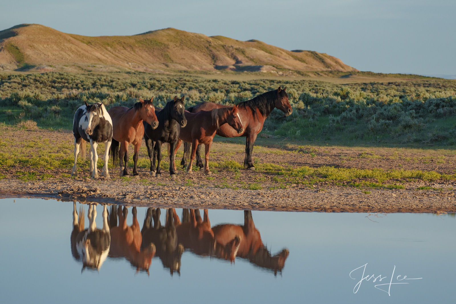 Fine Art Limited Edition Photography of Wild Herd of Mustang Horses. Wild Horses or Mustang herd at waterhole #9. This is part...