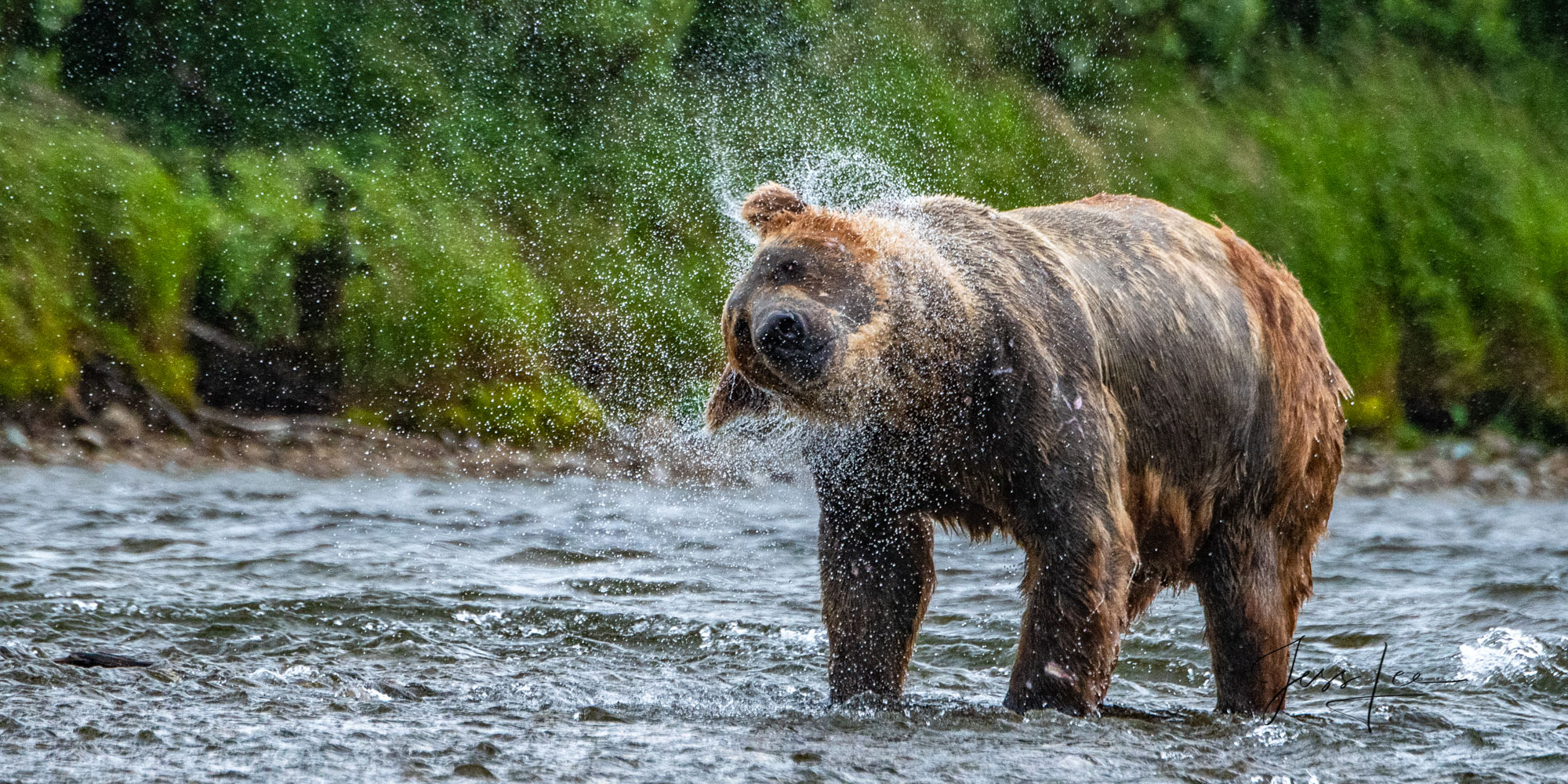 Grizzly, brown bear, bear, Alaska, Coastal, salmon. fishing, Grizzly Bear Photograph, Grizzly bear picture, Grizzly bear print, , photo