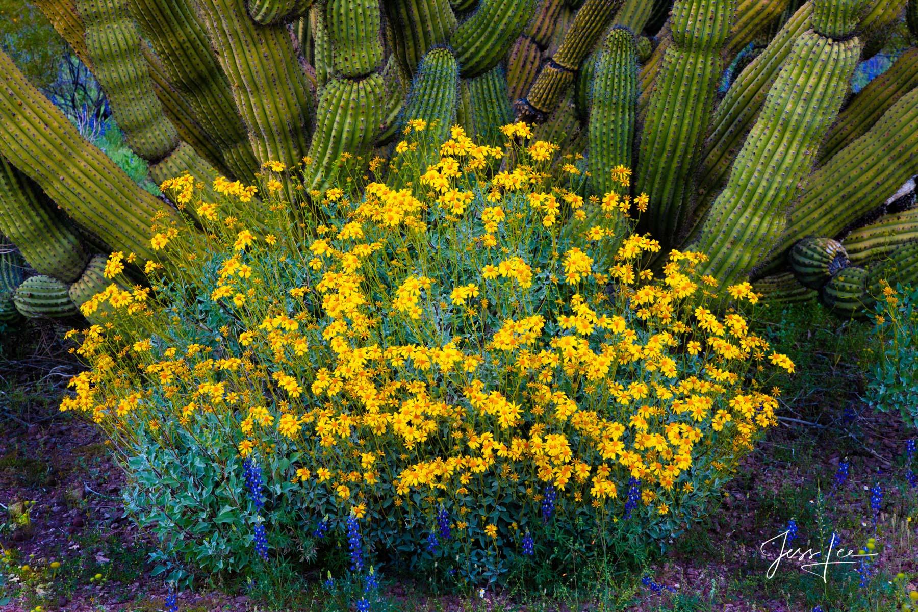 Organ Pipe Cactus growing abundantly in the Arizona desert.