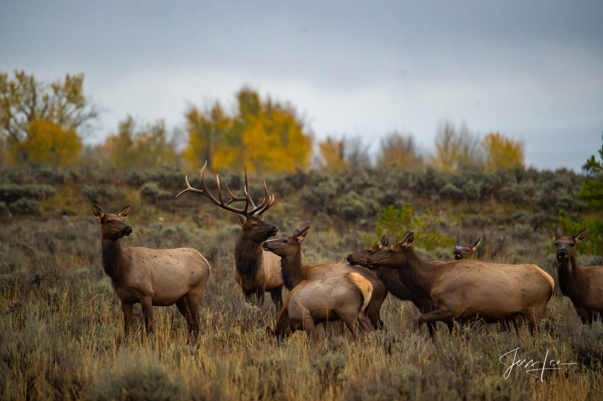 photo of wildlife in Grand Tetons, Wyoming photographer, Jackson Hole, National Parks, elk herd, bull, nature, wilderness, wild animals, autumn, fall colors, large format, quality, museum, fine art, p, photo