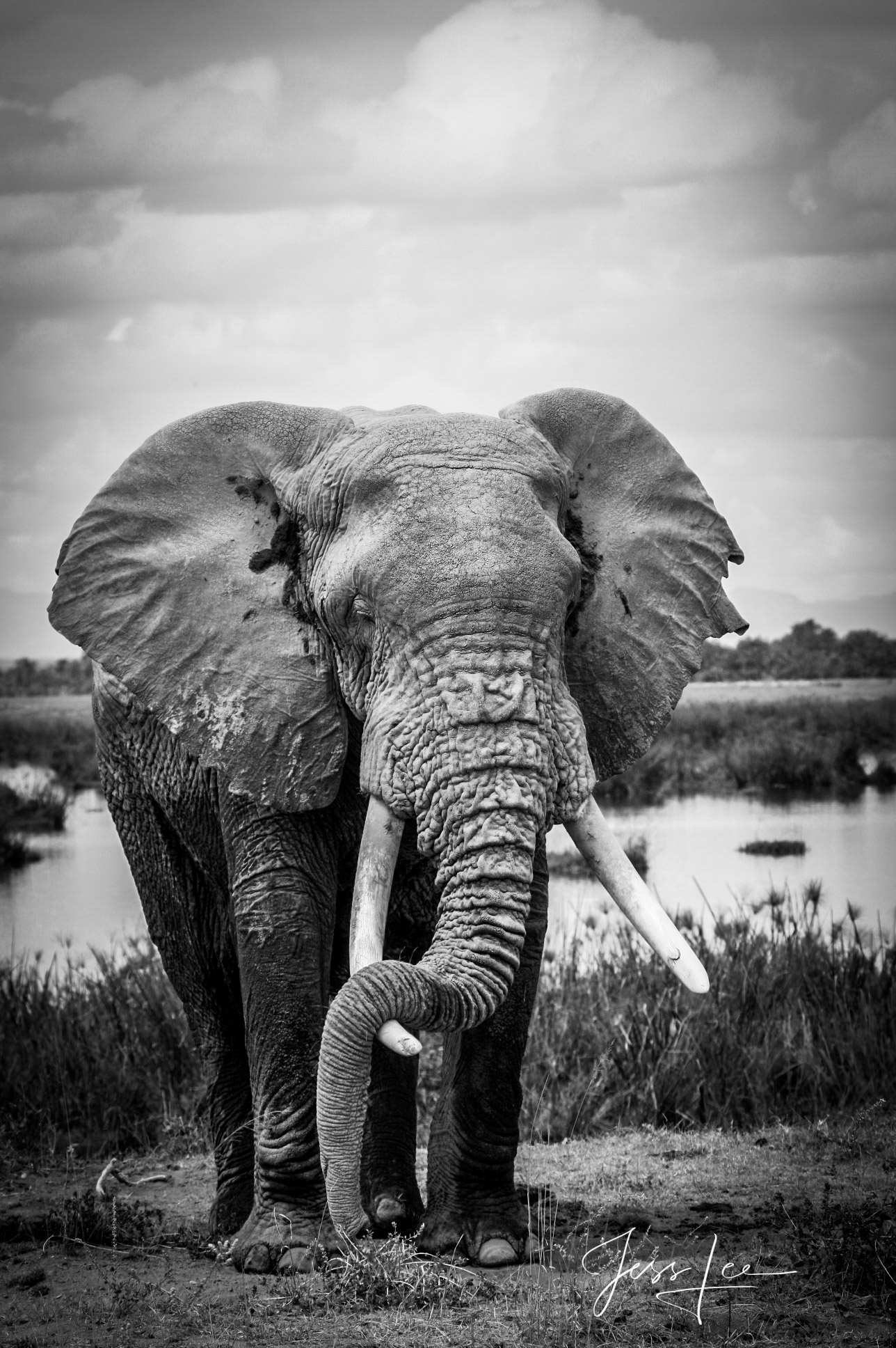 African, elephant, Elephantidae, elephant, black and white, wildlife, , photo