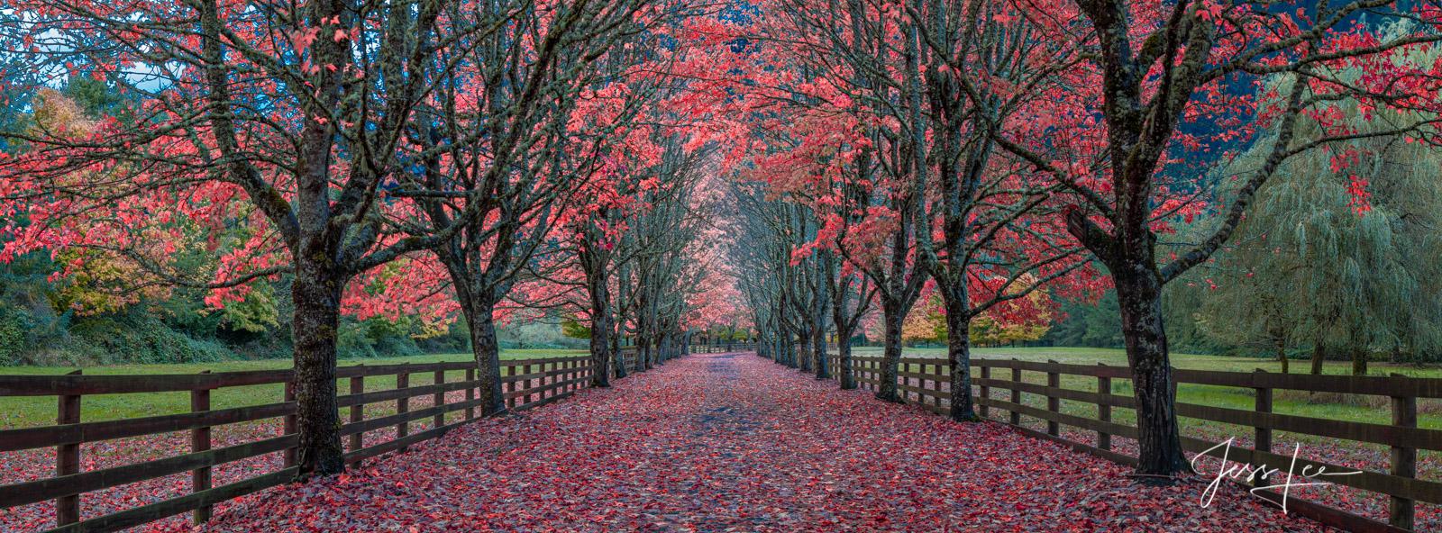 Beautiful Autumn tree lined driveway,, photo