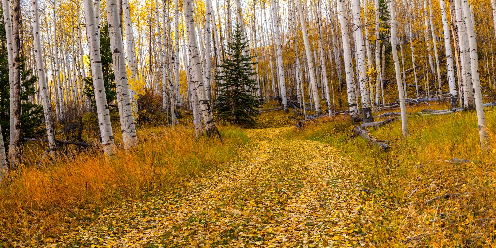 A Colorado Fall Color Photography Print of an Aspen Lined Road taken during the peak of Autumn Tree Color in southeast Colorado...