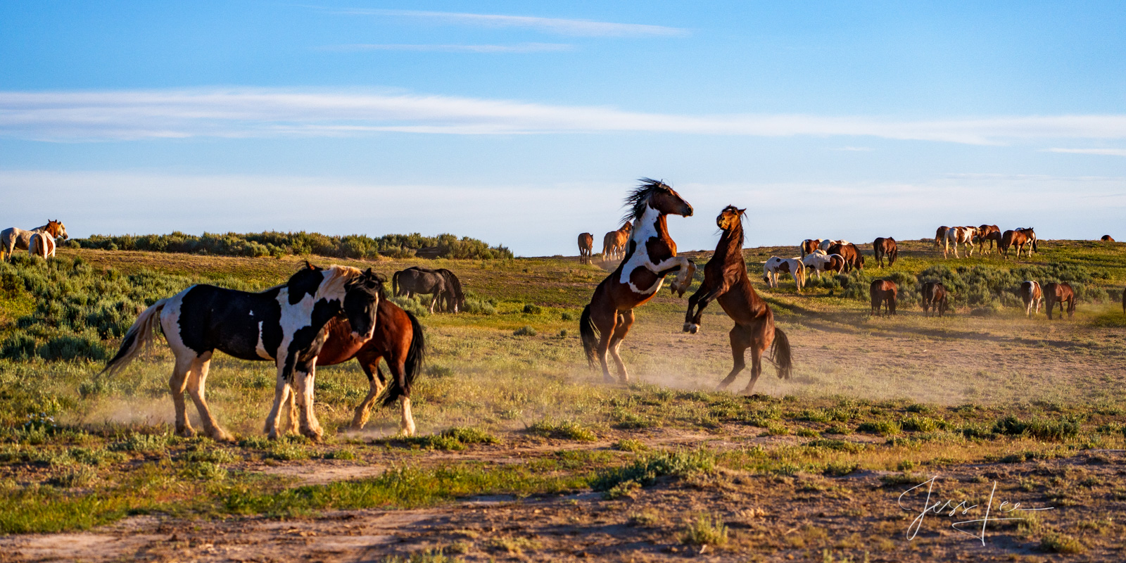 Fine Art Limited Edition Photography of Wild Herd of Mustang Horses dancing. Wild Horses or Mustang herd. This is part of the...