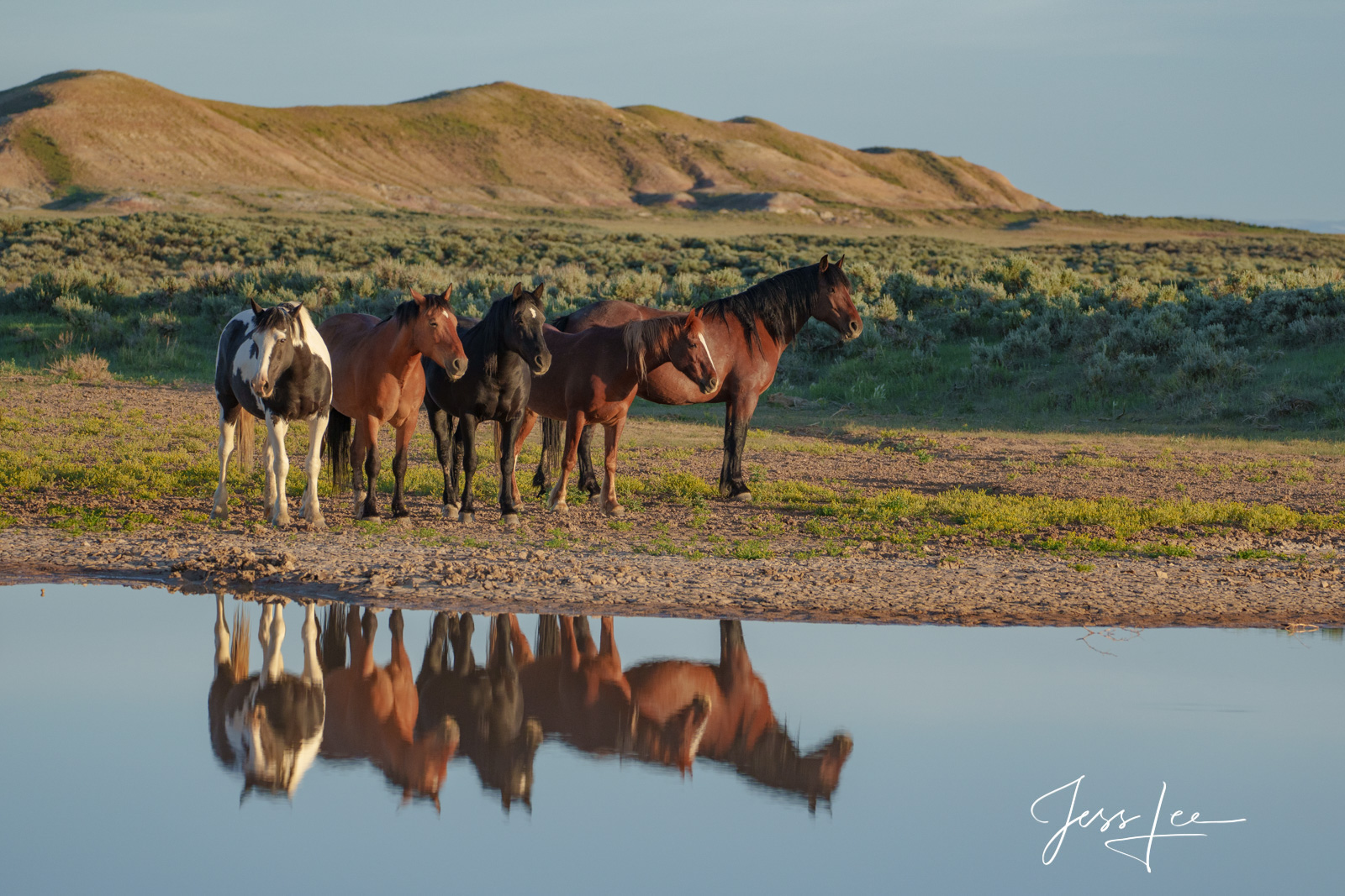 Reflection of Mustangs