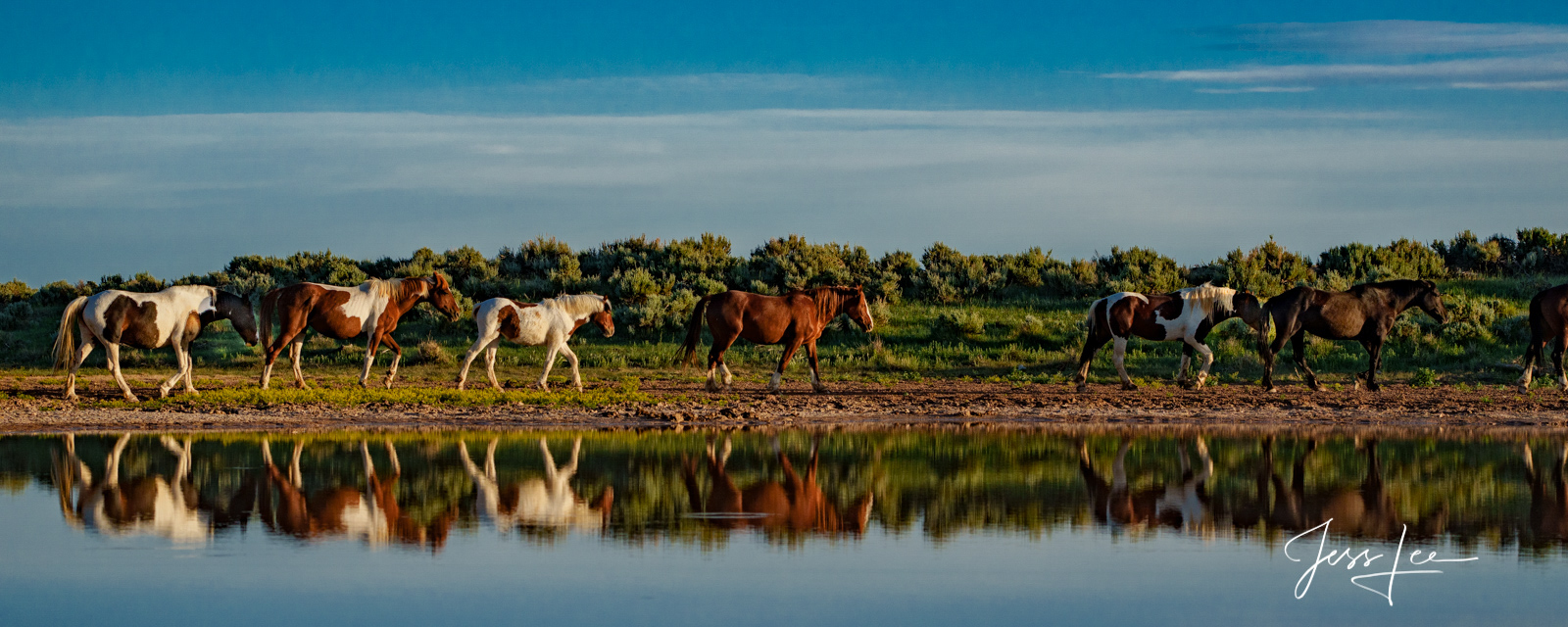 Fine Art Limited Edition Photography of Wild Herd of Mustang Horses. Wild Horses or Mustang herd panoramic reflection. This is...