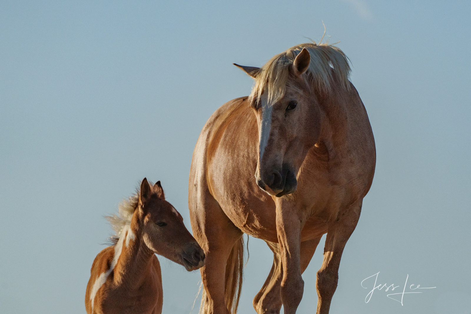 Fine Art Limited Edition Photography of Wild Mustang Mare and Foal Horses. Wild Horses or Mustang herd. This is part of the luxurious...