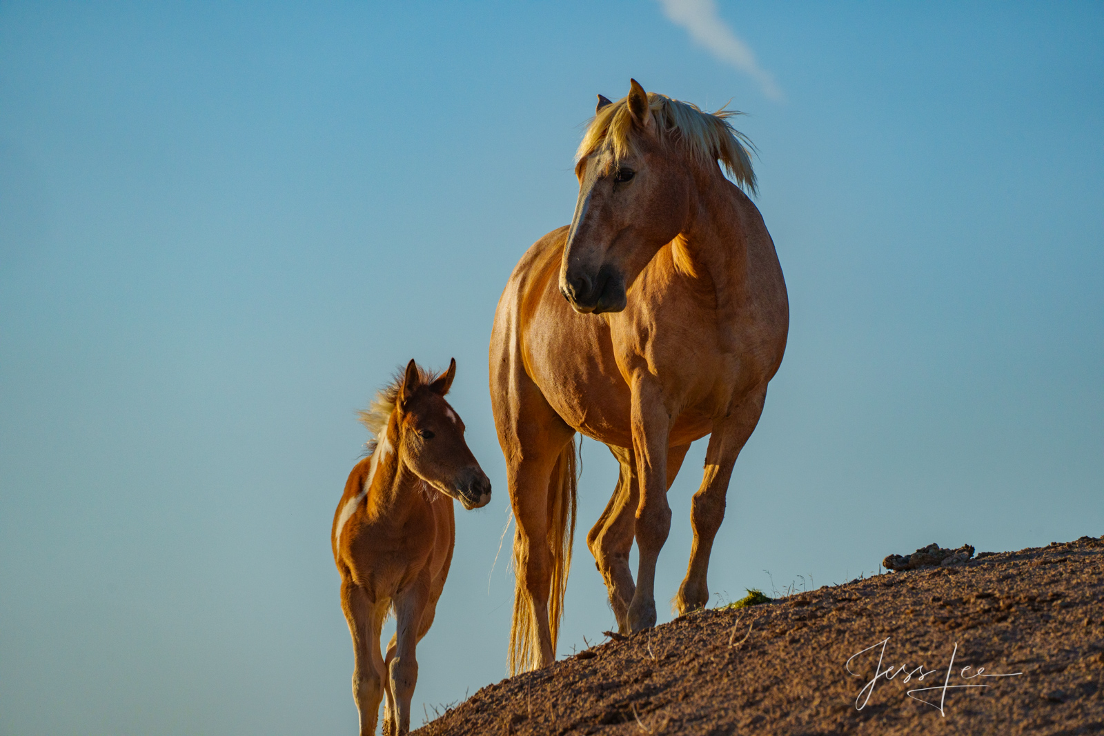 Fine Art Limited Edition Photography of Wild Mustang Horse. Wild Horses or Mustang herd. This is part of the luxurious collection...
