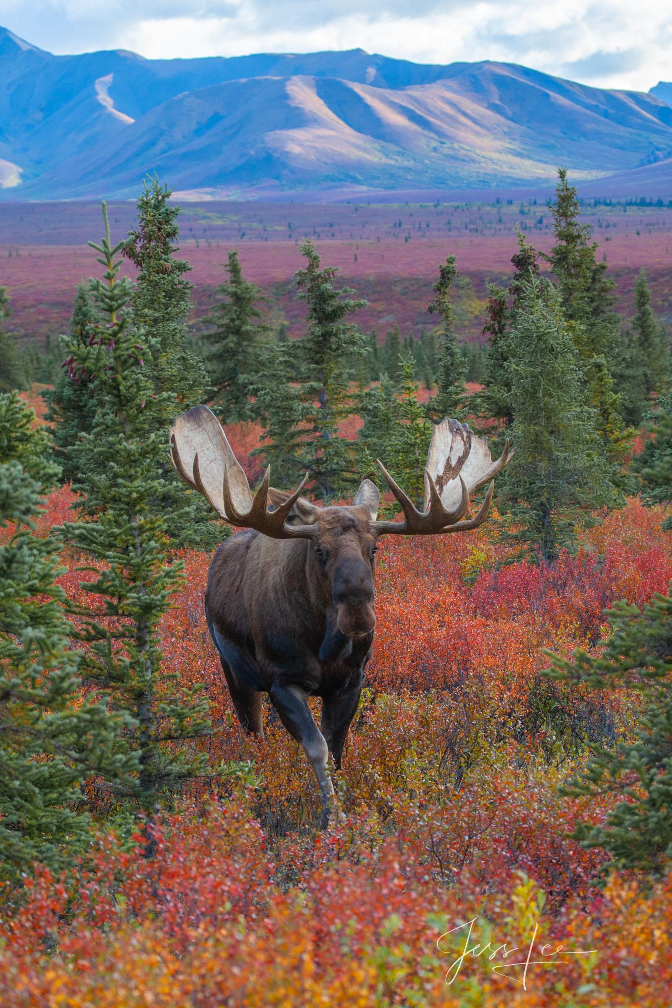 Moose, print, fine art, mammals, photograph, photo, wilderness,, photo
