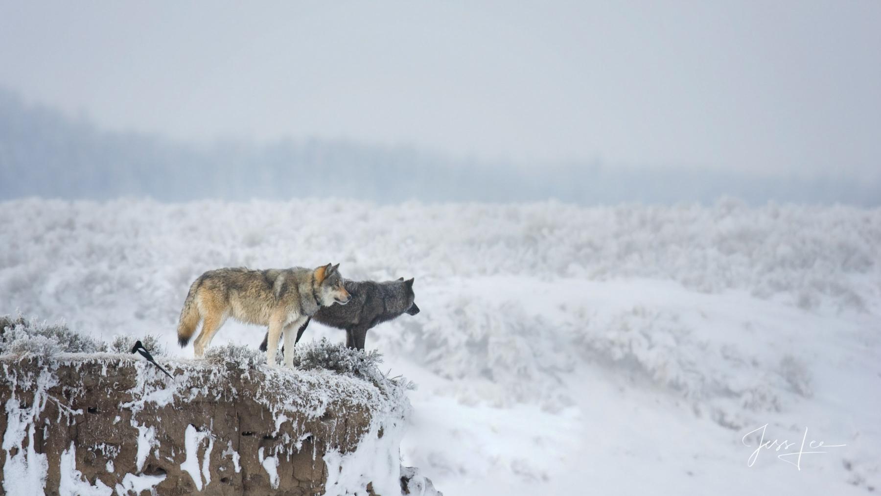 Yellowstone winter Wild Wolf