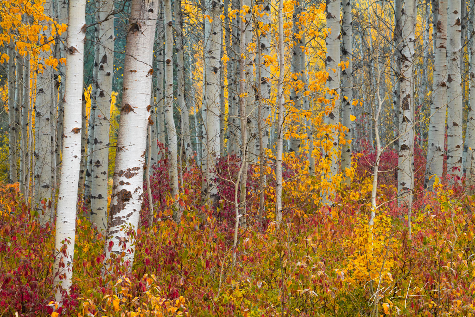 A limited edition fine art photographic print of 50 archival Museum Quality artworks of this beautiful group of Birch trees....